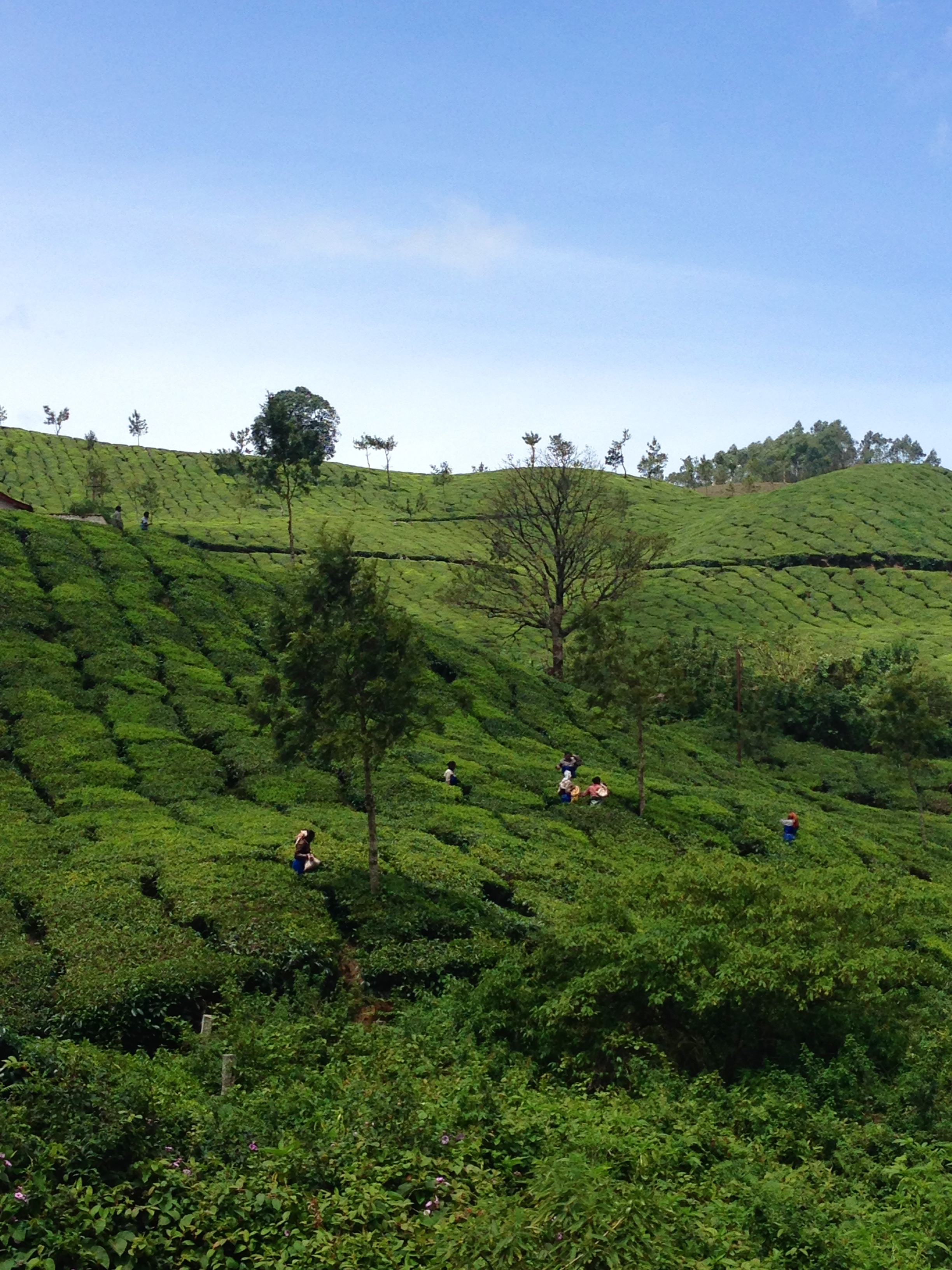 Tea plantation - Munnar - India - Kerala