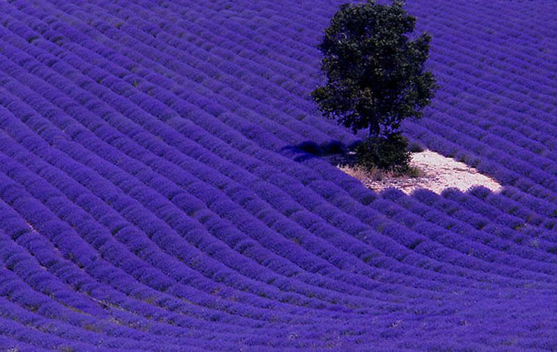 Ashikaga Flower Park Ashikaga Japan Magical Places Visit Purple Gardens World Romantic Lavender Fields Provence France