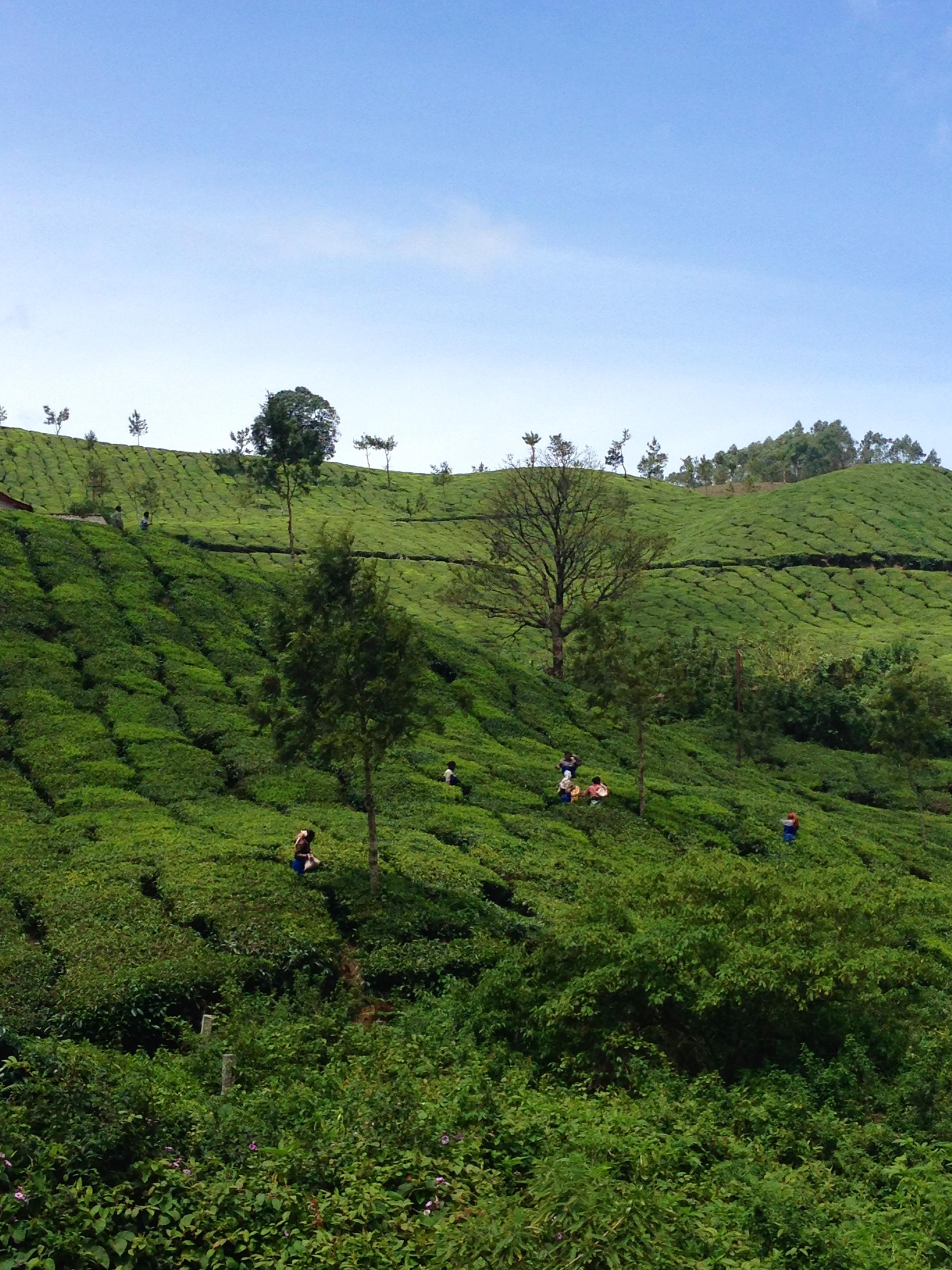Tea plantation - Munnar - India - Kerala